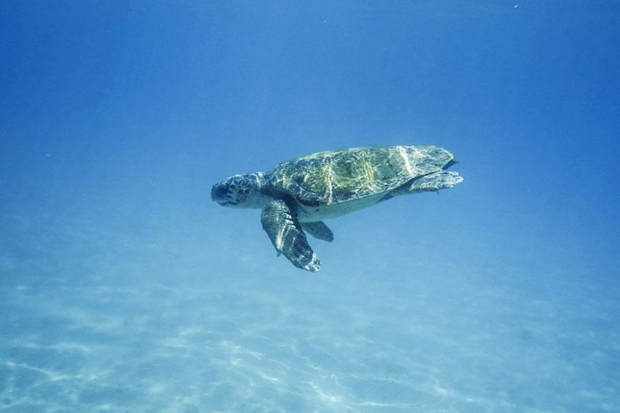 Tortugas Caretta Grecia
