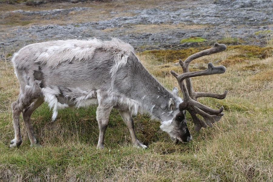 renos svalbard noruega